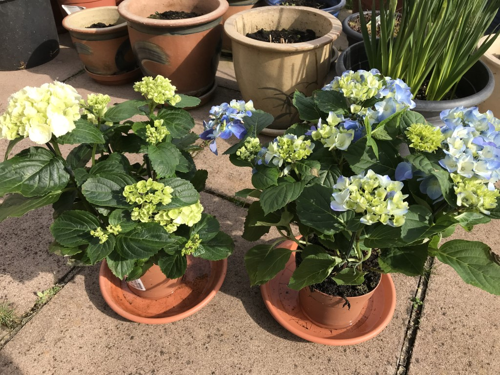Dollhouse Miniatures Small Blue Hydrangea Plant In Pot Miniature Fairy Garden We Take Customers As Our Gods